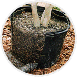Root results with a pot pruner