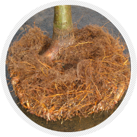 Intact root structure from Root Control Bag