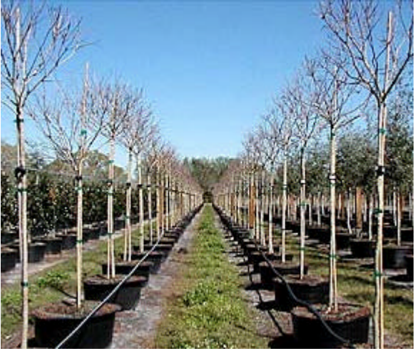 Tree Collars protect trees from blowover