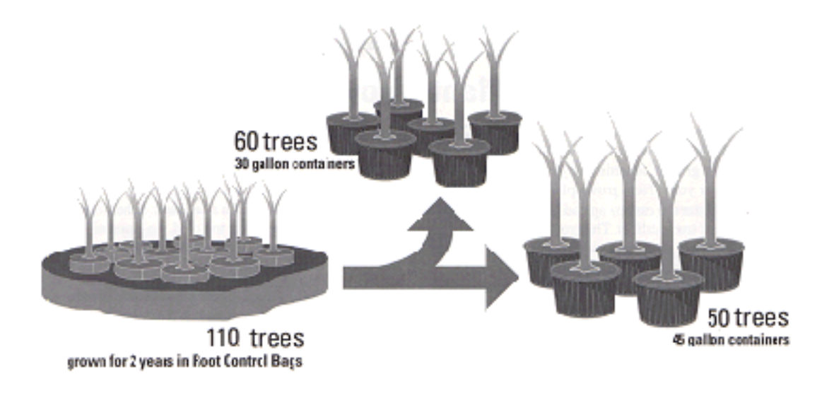 Trees grown in Root Control Bags