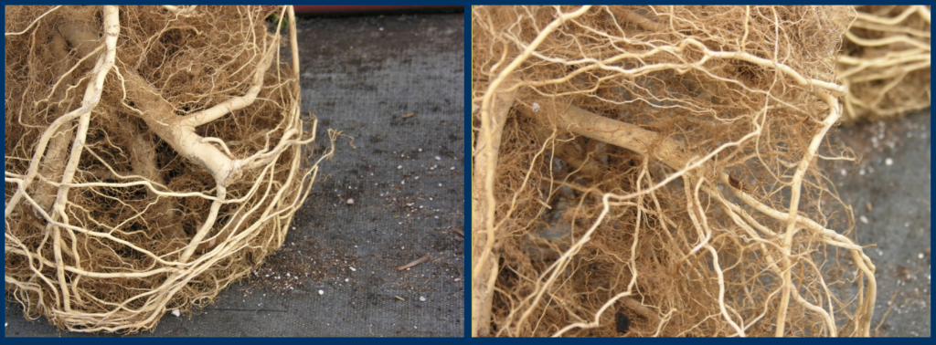 Root growth comparison
