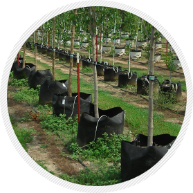 Trees grown in High Caliper Growing's Root Control Bags